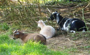 Flowery Goats