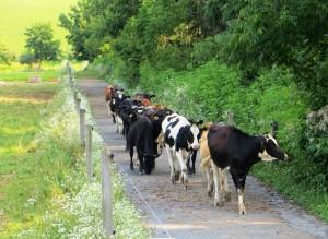 Neighbor Cows