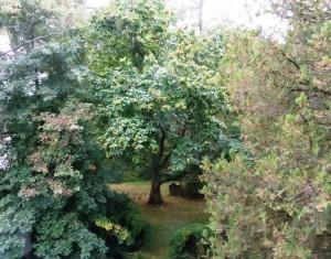 Backyard Chestnut Tree
